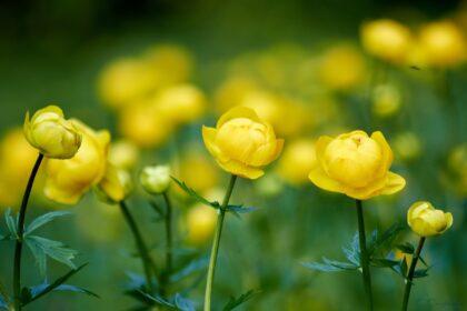 Фото цветок италмас, Удмуртия, купальница обыкновенная (европейская)
